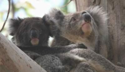 Koalas 400