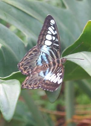butterfly 300