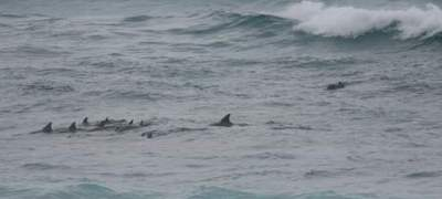 dolphins - Hanson Bay 400