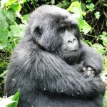 Virunga NP, Gorilla - she sat there and studied us 0223 542