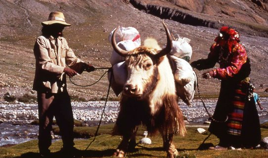 1998 - Mt Kailash circuit - loading a yak 542