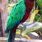 Fafa red shining parrot 271