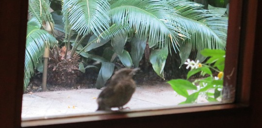 IMG_8979 - blackbird at window - 540