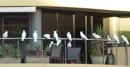 IMG_9957 - Sydney cockatoos