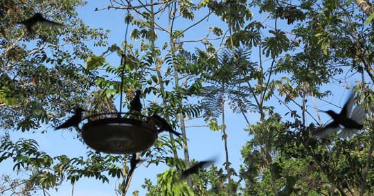 IMG_6692-hummingbirds-Soberanie-NP-540.jpg