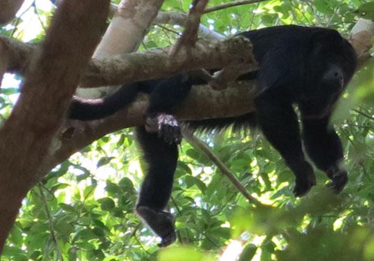 IMG_5739-relaxed-howler-monkey-El-Mirador-540.jpg