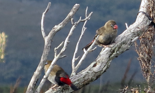 IMG_7046 - firetail wrens - 540