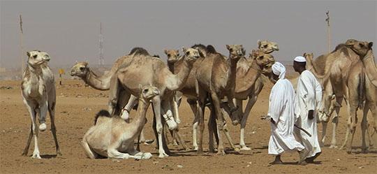 IMG_1460 - camel market, Khartoum -540