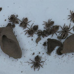 IMG_2190 - spiders stored by mud dauber wasp - 540