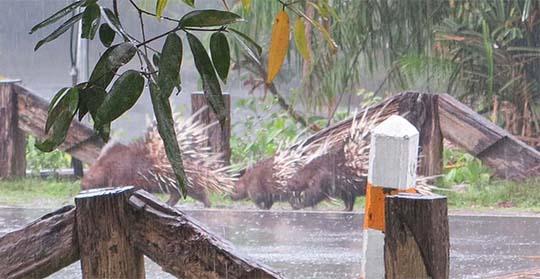 IMG_2869 - passing porcupines, Khao Yai National Park - 540