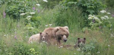 Bear and two cubs