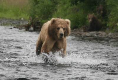 Bear chases salmon