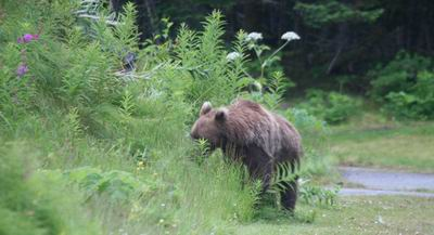 Bear heads back into vegetation