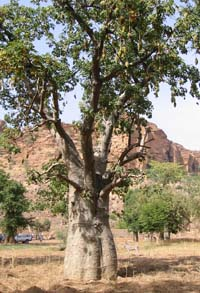 baobab tree in Dogon country