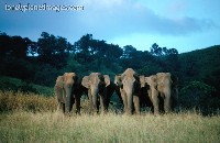 Elephants in Periyar