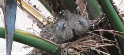 Turtle dove chicks