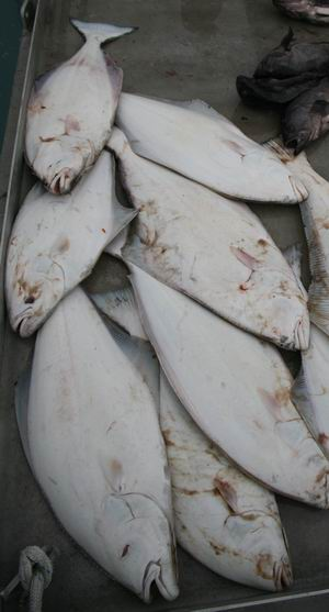 Valdez Halibut